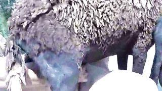 Man fucks sheep and cums hard on the animal's fur